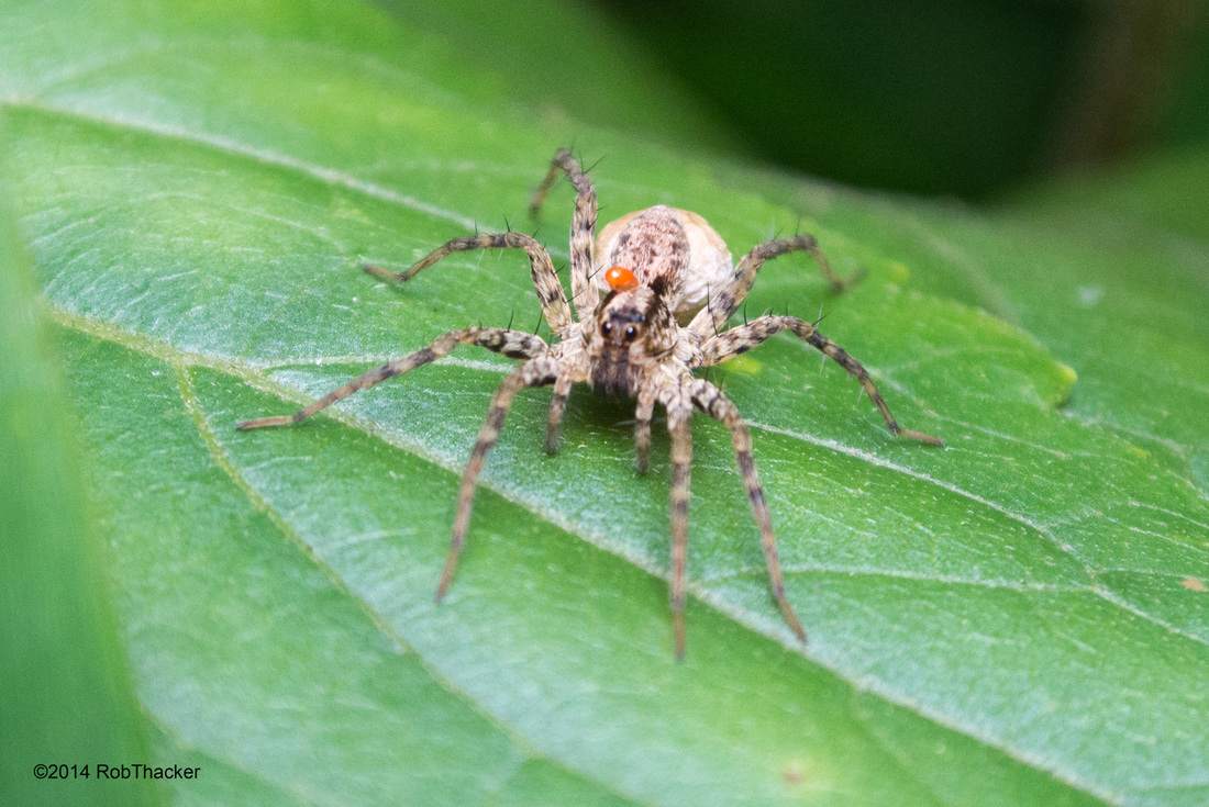 Wolf Spider with egg sack.jpg