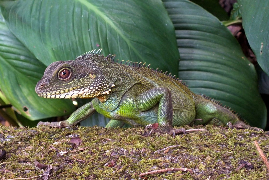 Physignathus cocincinus, Indo-chinese Water Dragon.jpg