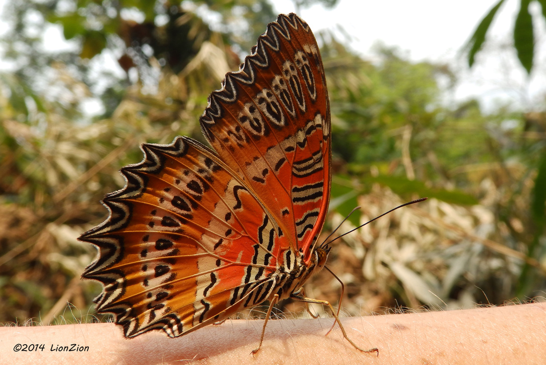 Cethosia biblis, Red Lacewing butterfly in Thailand.jpg