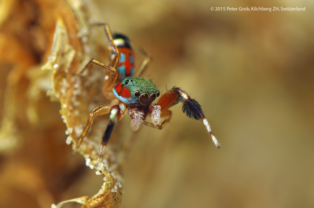 beautiful jumping spider from Thailand.jpg
