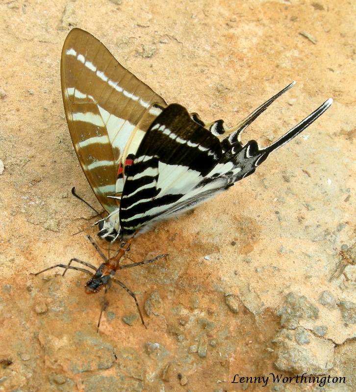 Graphium aristeus hermocrates, Chain Swordtail, Stripe Swordtail.jpg