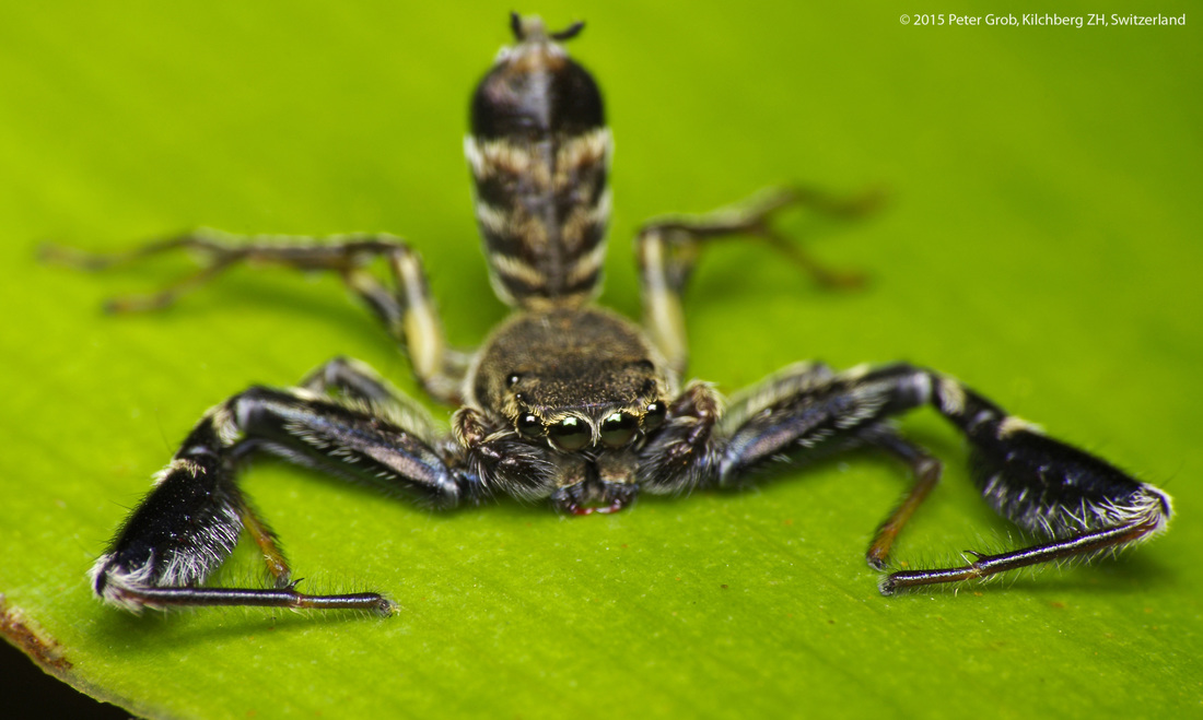 jumping spider in a scorpion pose.jpg