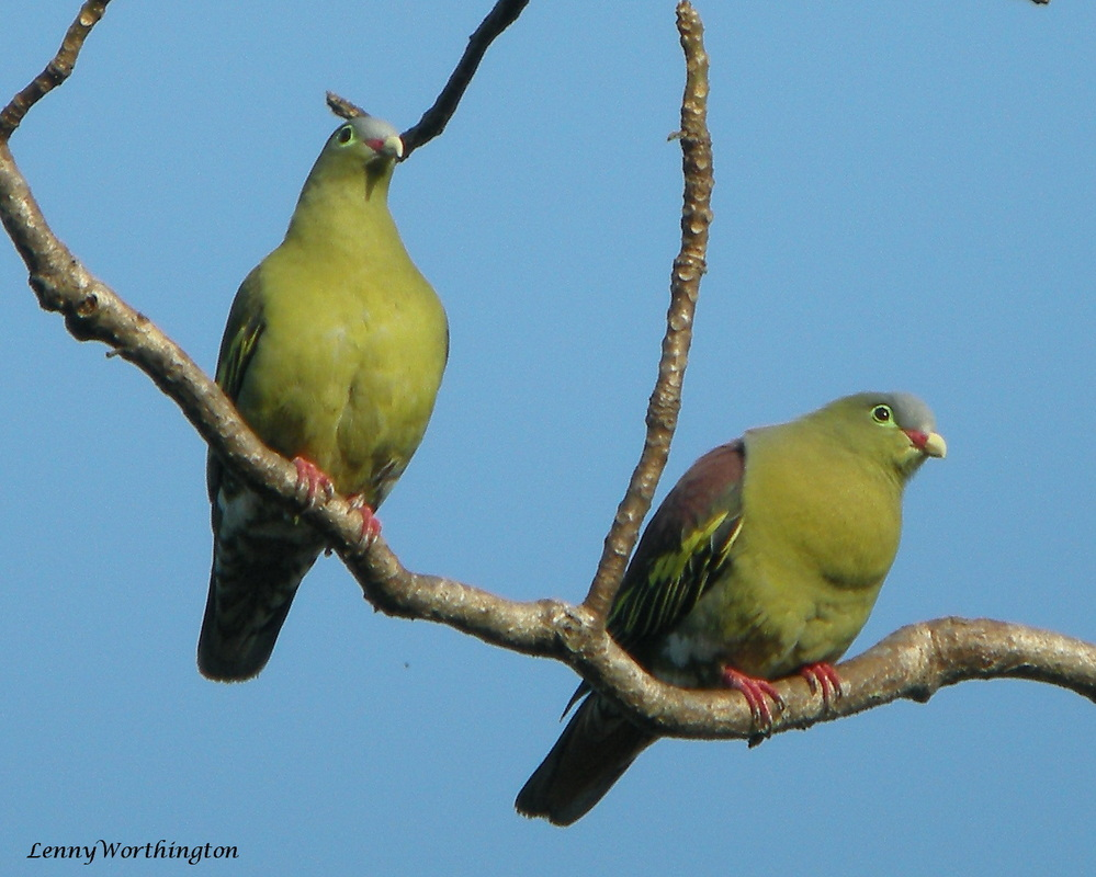 Thick-billed Green Pigeon Treron curvirostra.jpg
