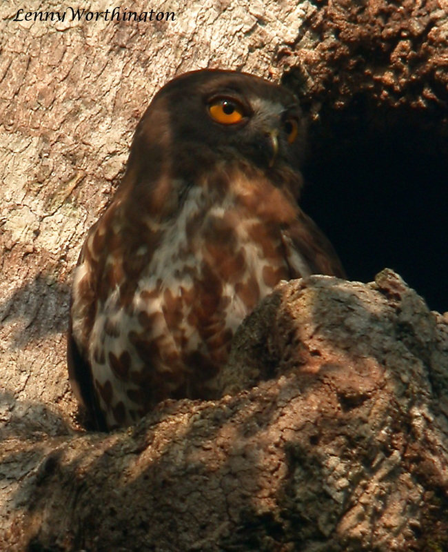 Brown Hawk Owl Ninox scutulata bumanica.jpg