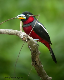 Black-and-red Broadbill Cymbirhynchus macrorhynchus.jpg