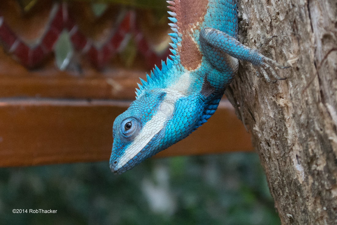 Calotes mystaceus showing white lips.jpg
