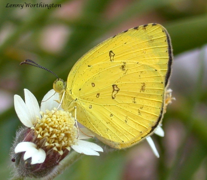 Common Grass Yellow Butterfly, Eurema hecabe hecabe.jpg