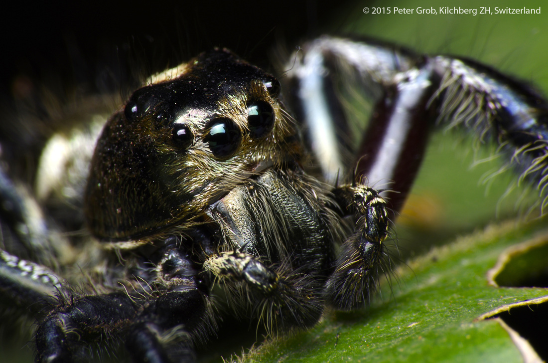 gold faced jumping spider from Thailand.jpg