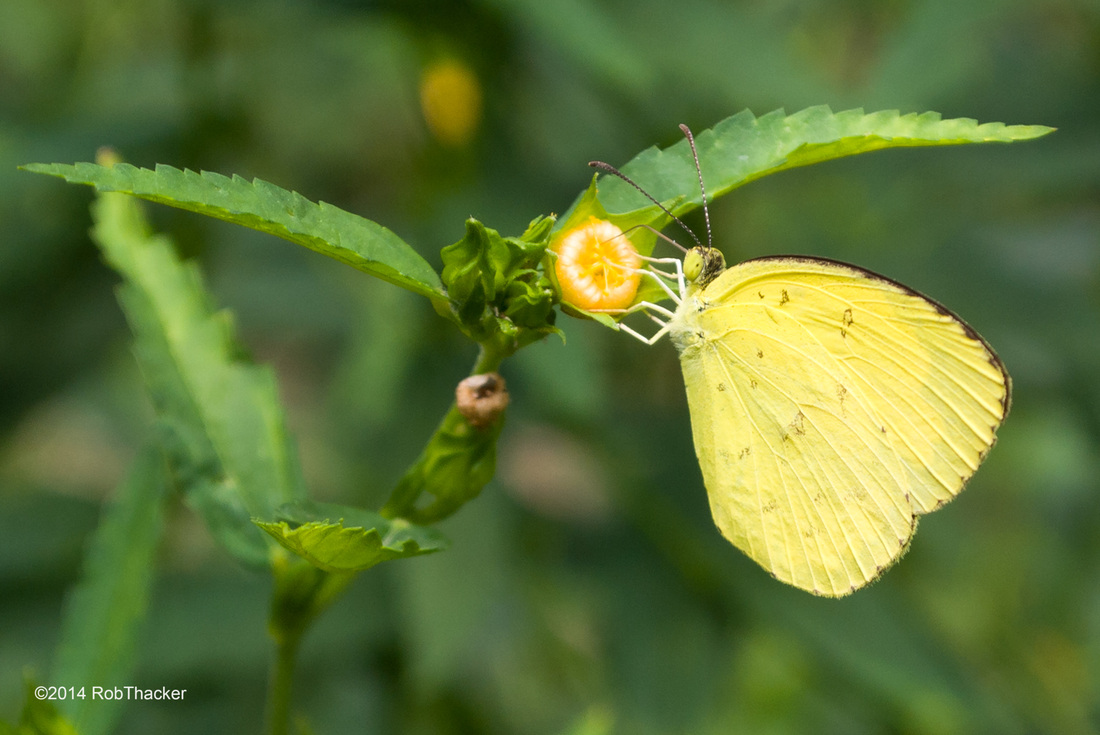 Yellow butterfly Thailand, Eurema hecabe hecabe