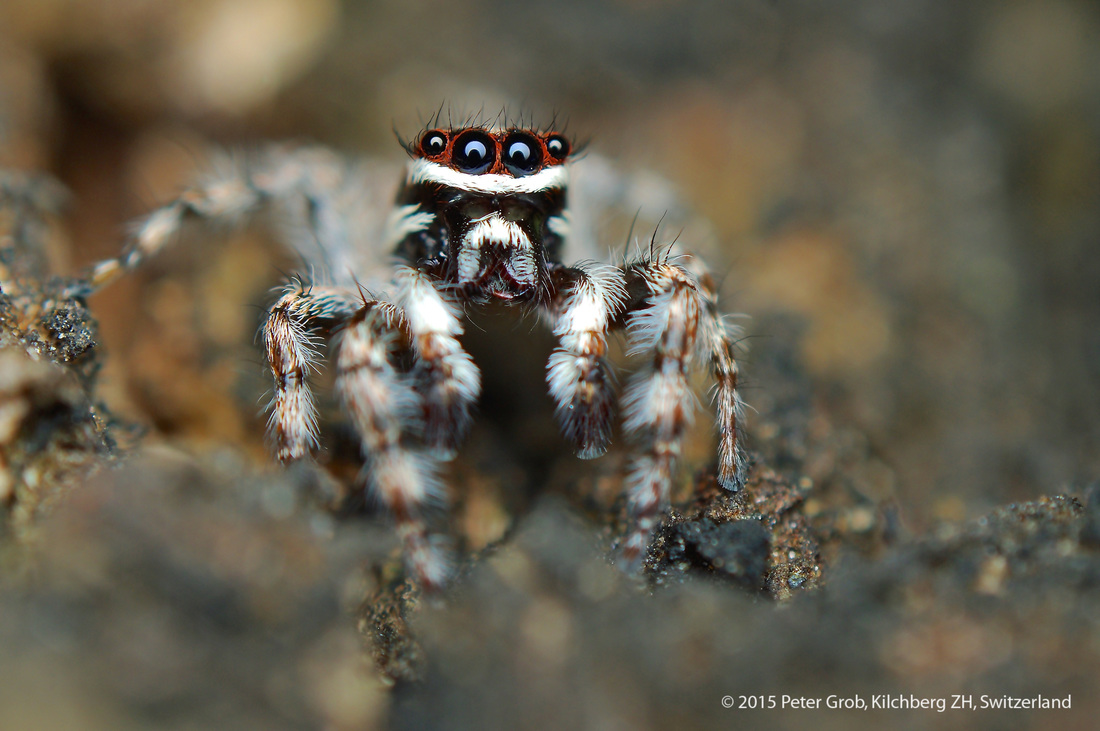 orange and white faced jumping spider.jpg