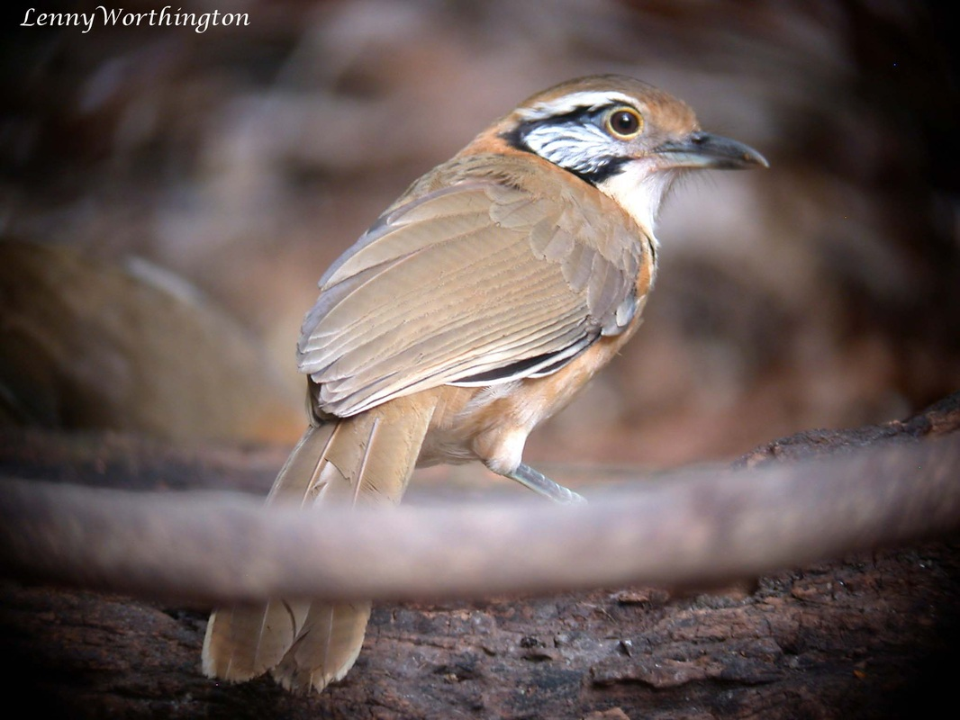 Greater Necklaced Laughingthrush Garrulax pectoralis.jpg