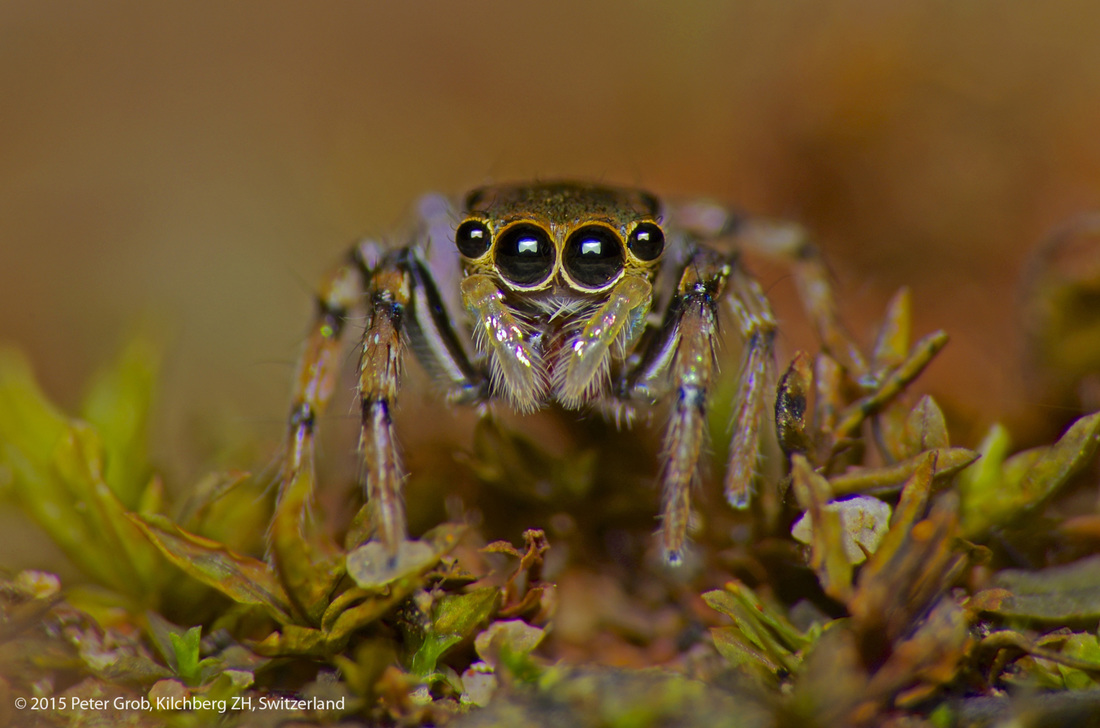 stareing into the eyes of a jumping spider.jpg
