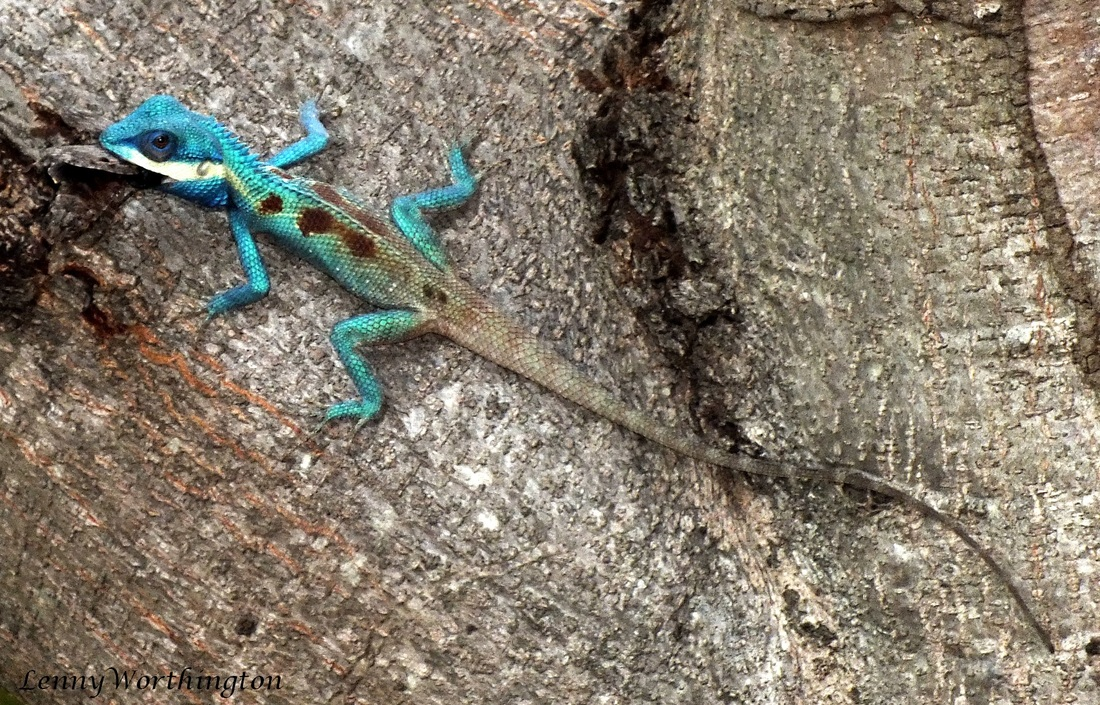Blue Crested Lizard with prey.jpg