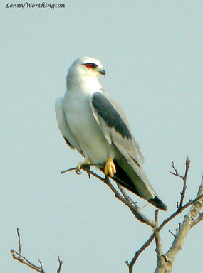 Black-shouldered Kite Elanus caeruleus