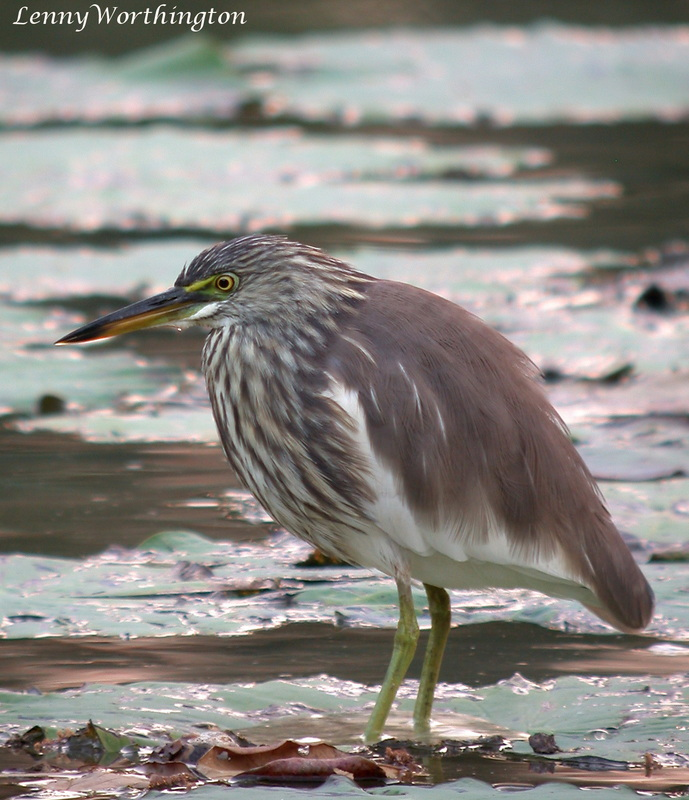 Javan Pond Heron winter plumage, Ardeola speciosa winter plumage.jpg