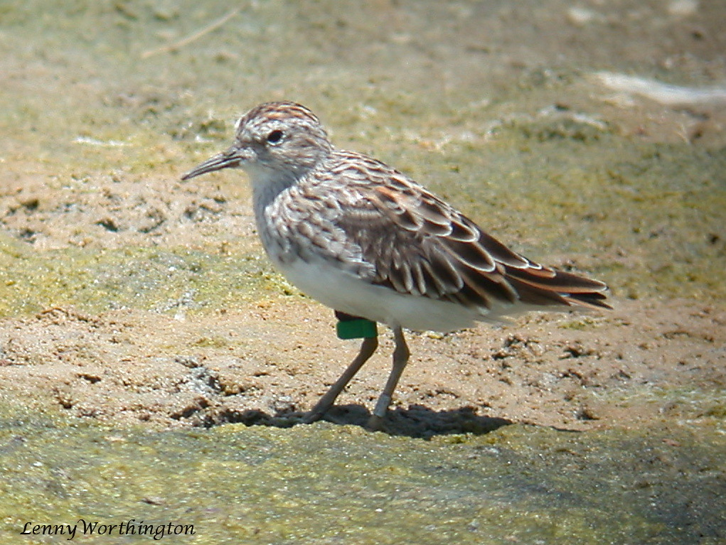 Sharp-tailed Sandpiper Calidris acuminata.jpg