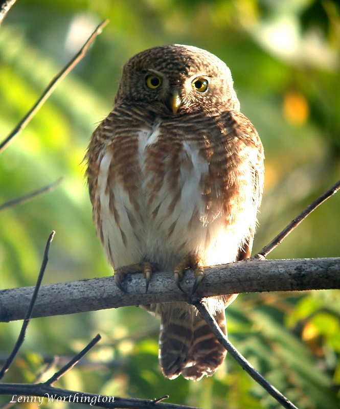 ASIAN BARRED OWLET, Glaucidium cuculoides.jpg