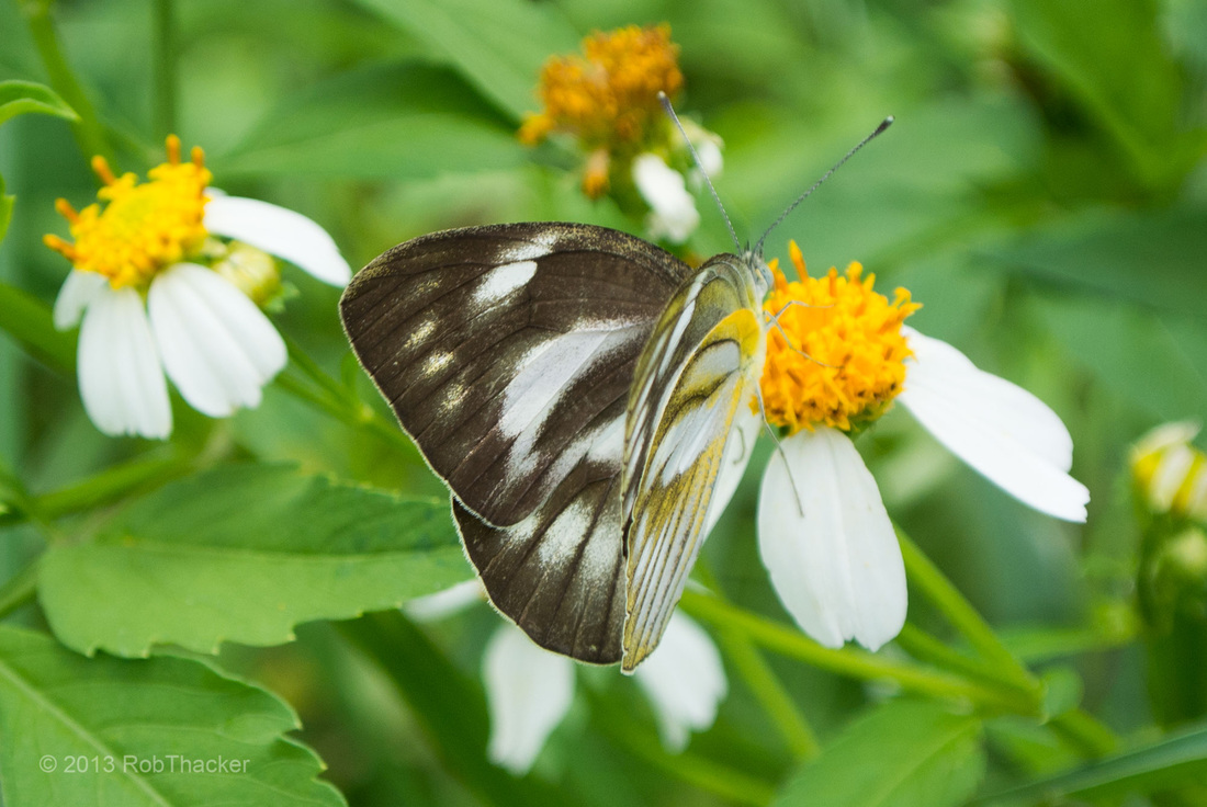Female Striped Albatross butterfly.jpg