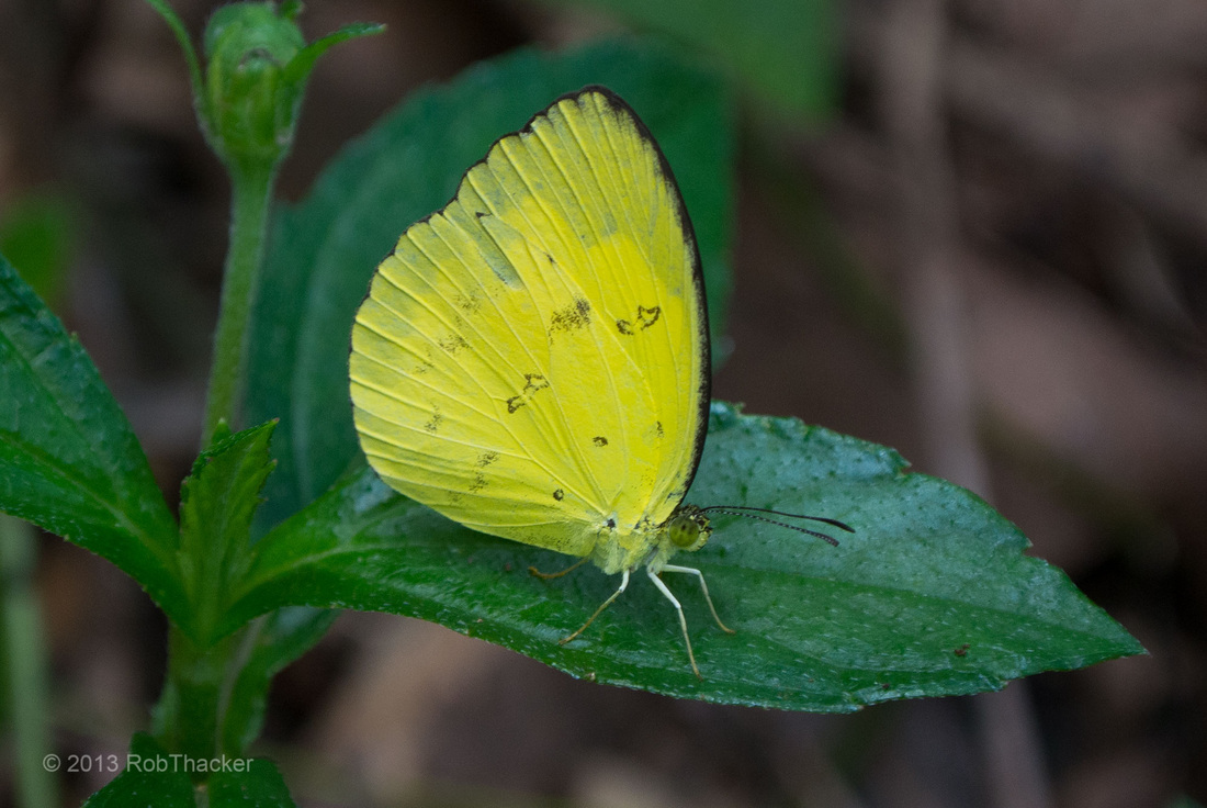 Grass Yellow butterfly in thailand.jpg