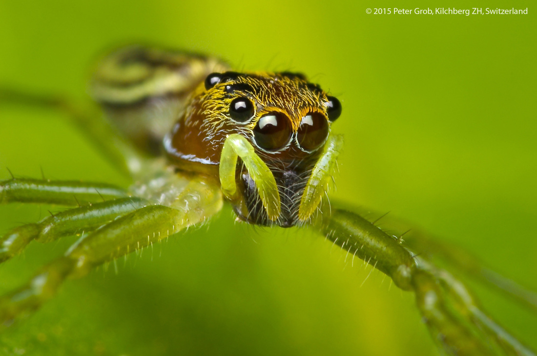 jumping spider on a green leaf.jpg