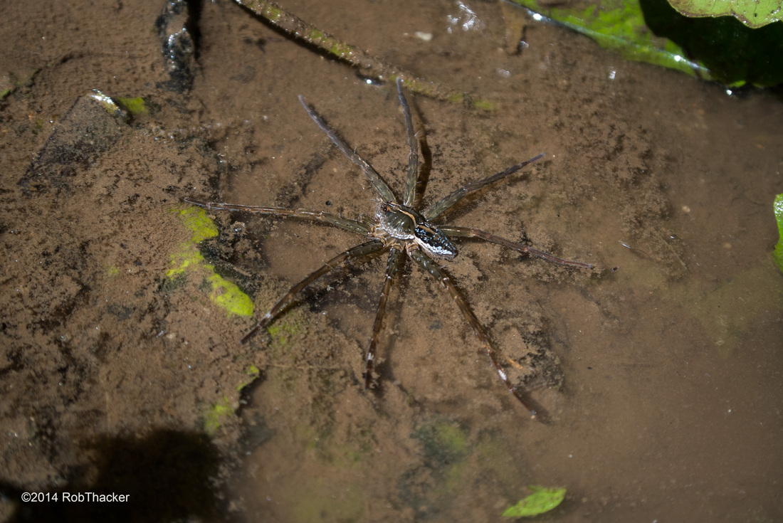 Dolomedes species fishing spider.jpg