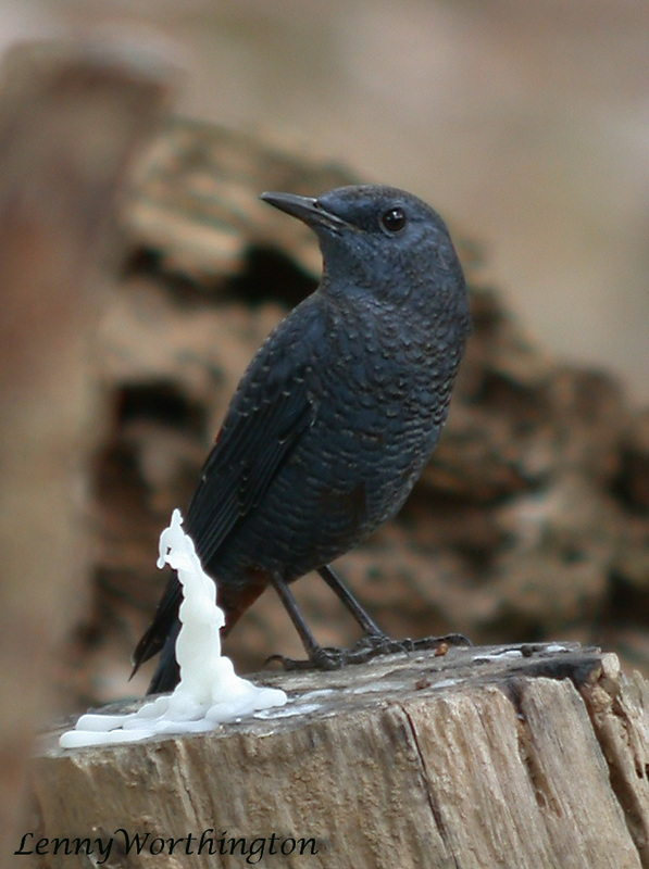 Blue Rock Thrush Monticola solitaris.jpg