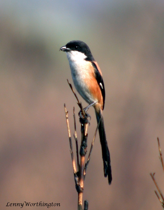 Long-tailed Shrike Lanius schach.jpg