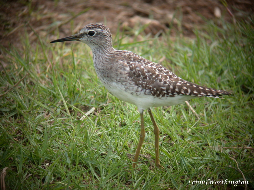 Wood sandpiper from Thailand, Tringa glareola.jpg