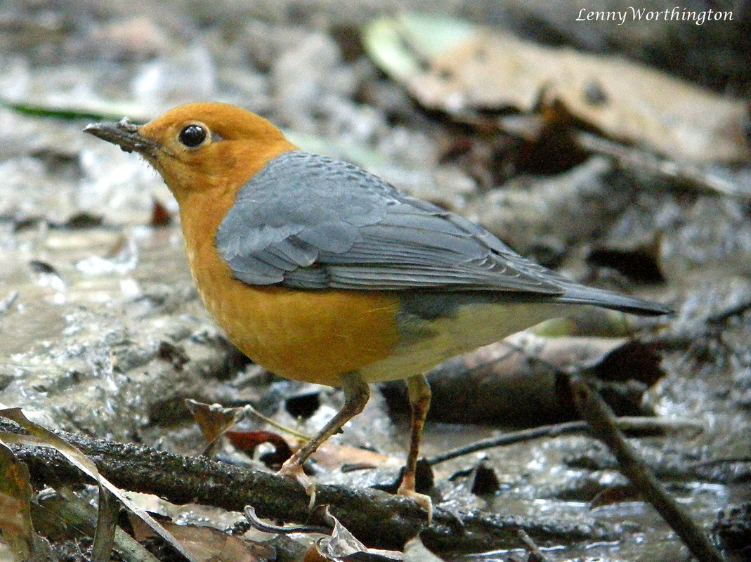 Orange-headed Thrush Zoothera citrina.jpg