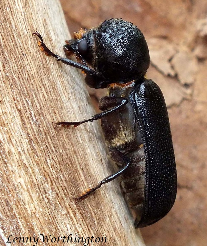 Auger Beetle fromThailand.jpg