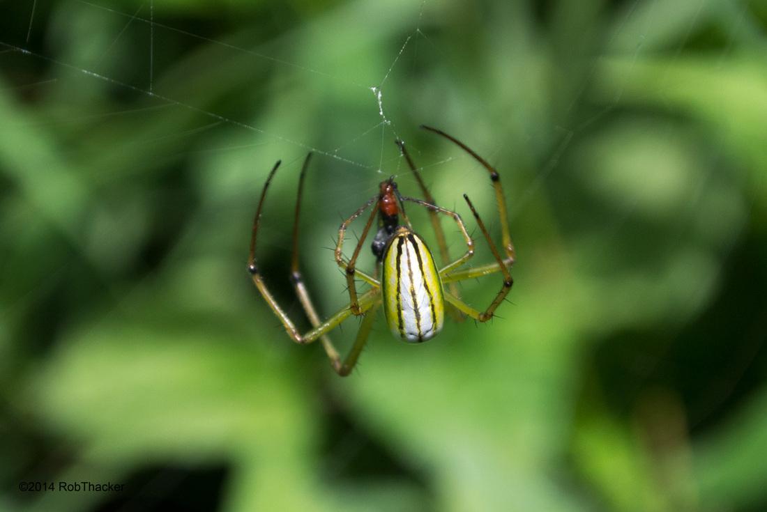 Long jawed spider with prey Thailand.jpg