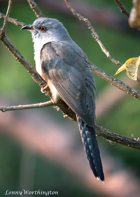 Plaintive cuckoo Cacomantis merulinus male.jpg