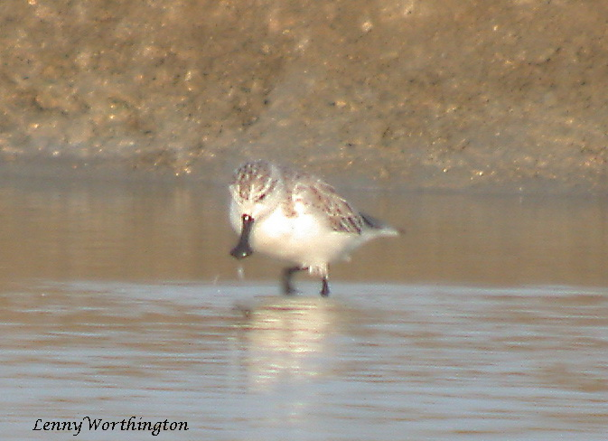 Spoon-billed Sandpiper Calidris pygmeus.jpg