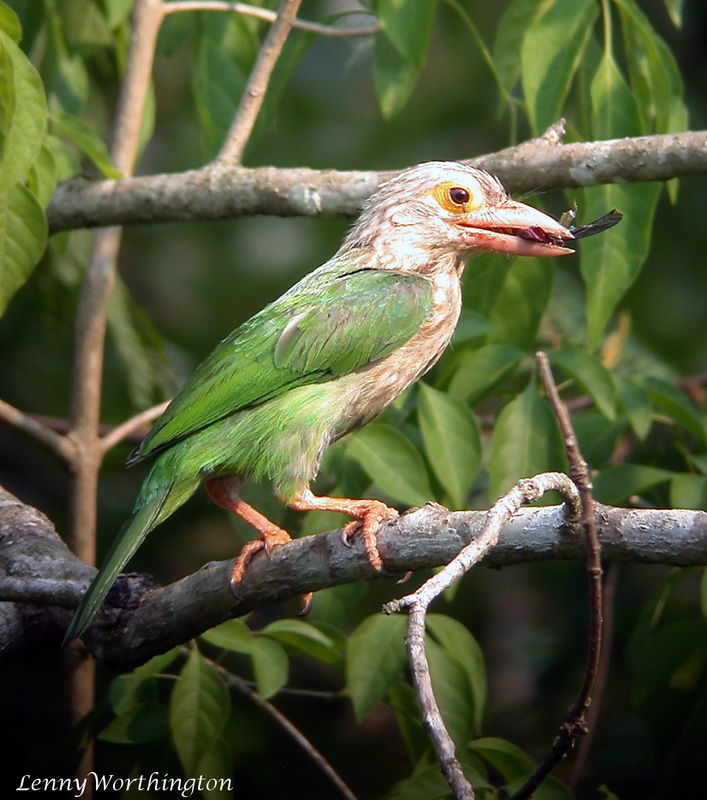 Lineated Barbet Megalaima lineata.jpg