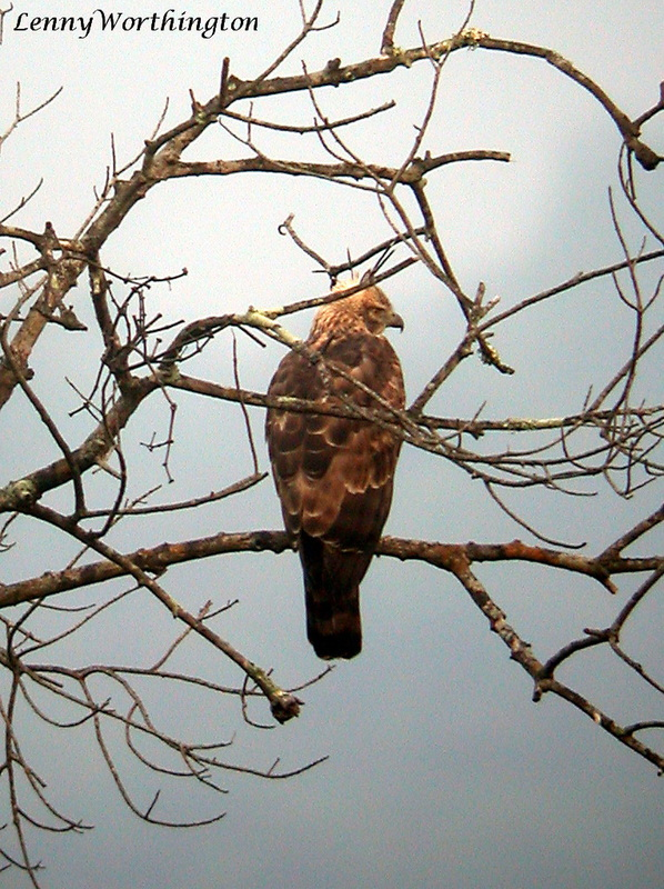 Mountain Hawk-eagle Spizaetus nipalensis.jpg