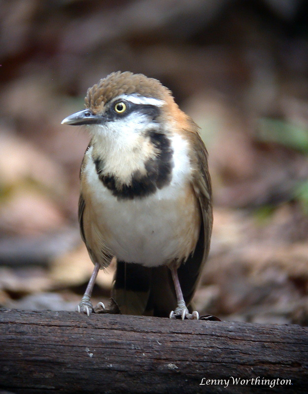Lesser Necklaced Laughingthrush Garrulax monileger.jpg
