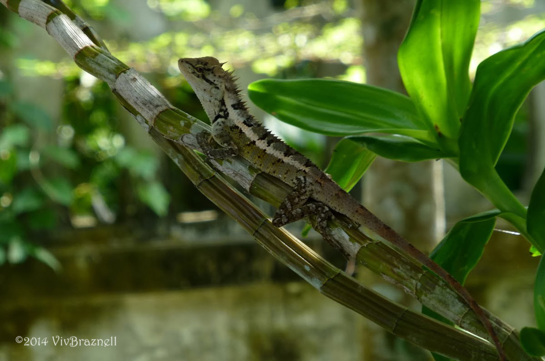 Emma Gray's forest lizard, Emma Gray's forest lizard.jpg