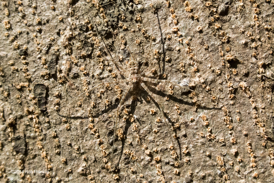 Two-tailed spider.jpg