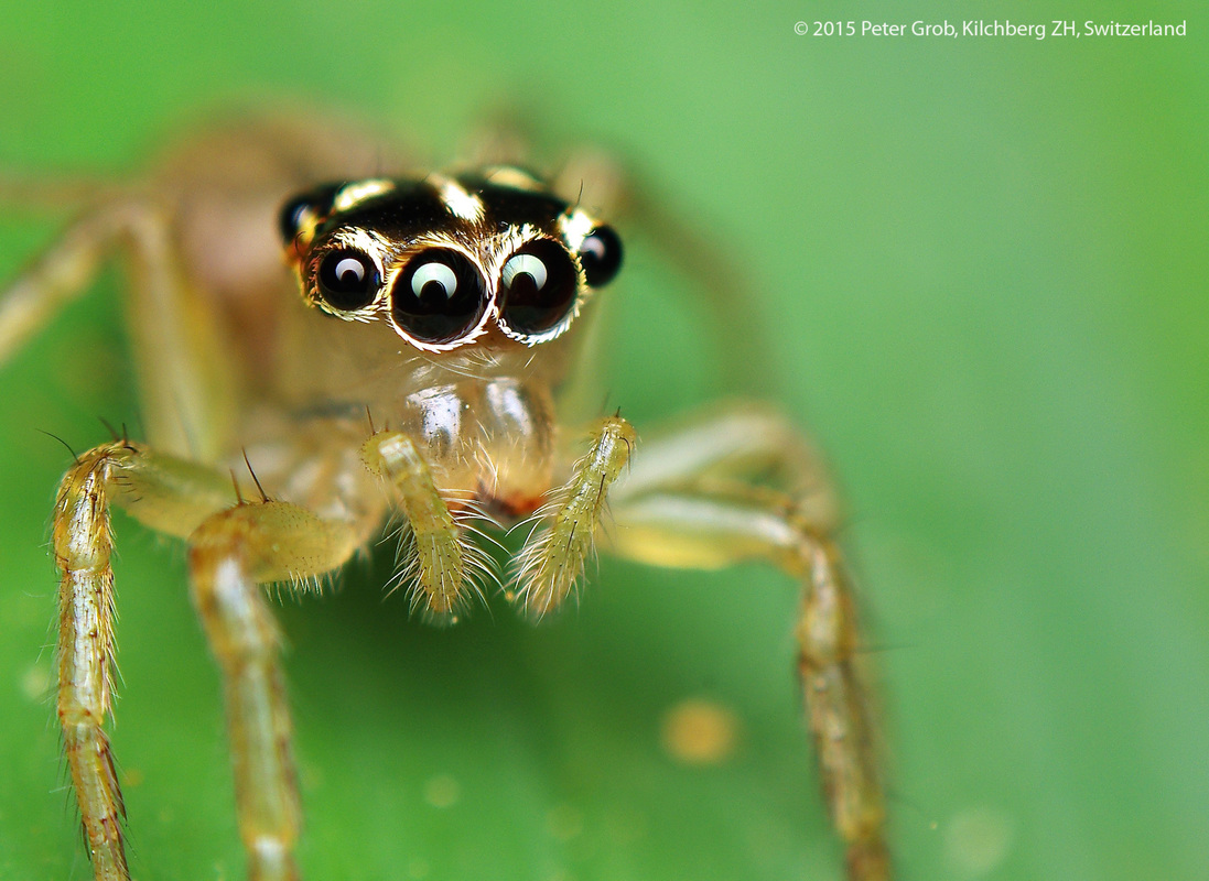 looking into the eyes of a Thai jumping spider.jpg