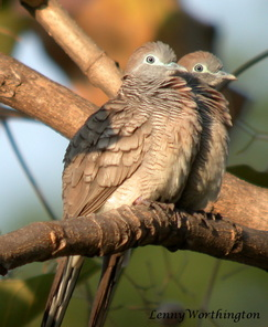 Peaceful Dove Geopelia striata.jpg