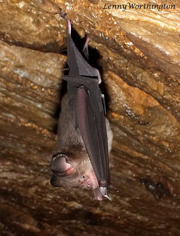 Roundleaf Bat from Thailand.jpg