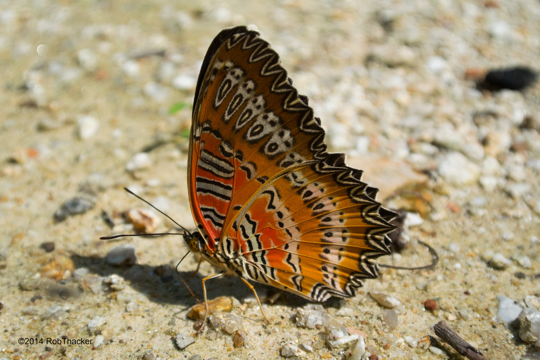Red Lacewing butterfly from Thailand.jpg