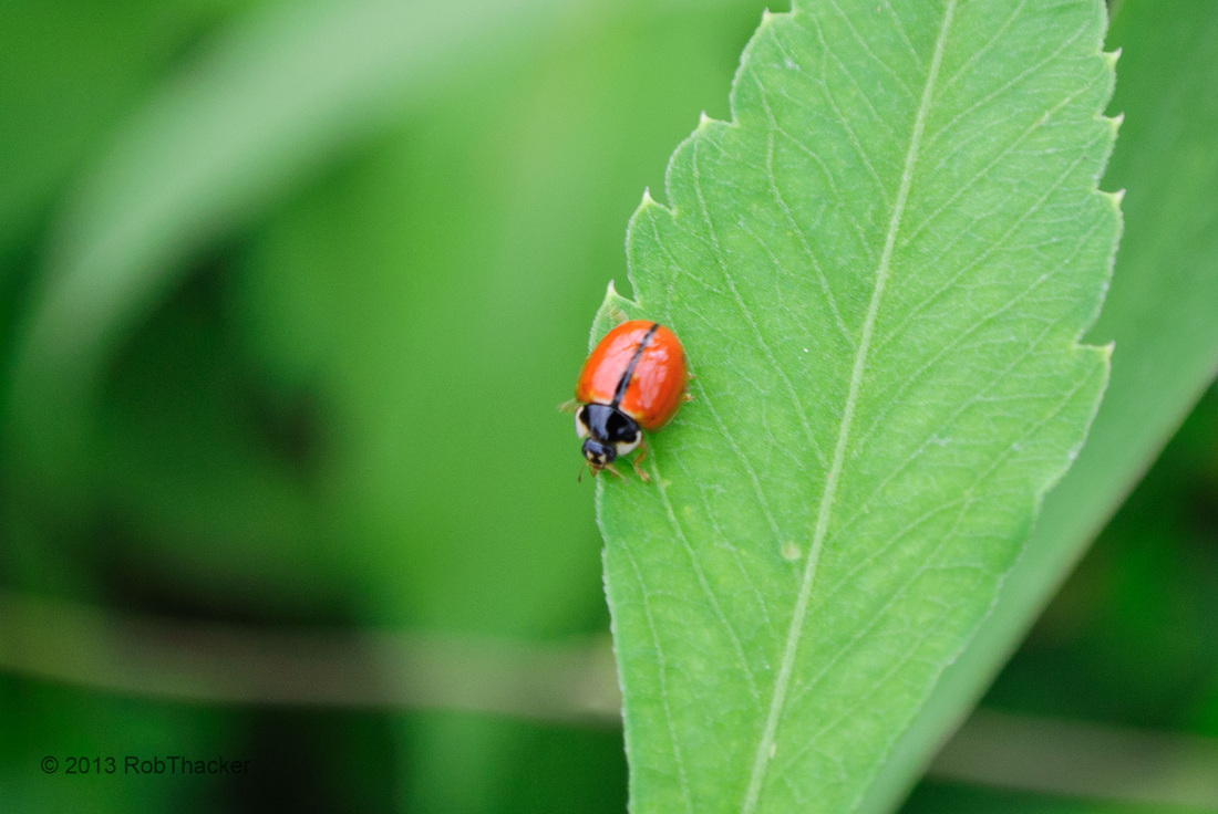 Coccinellidae 001.jpg