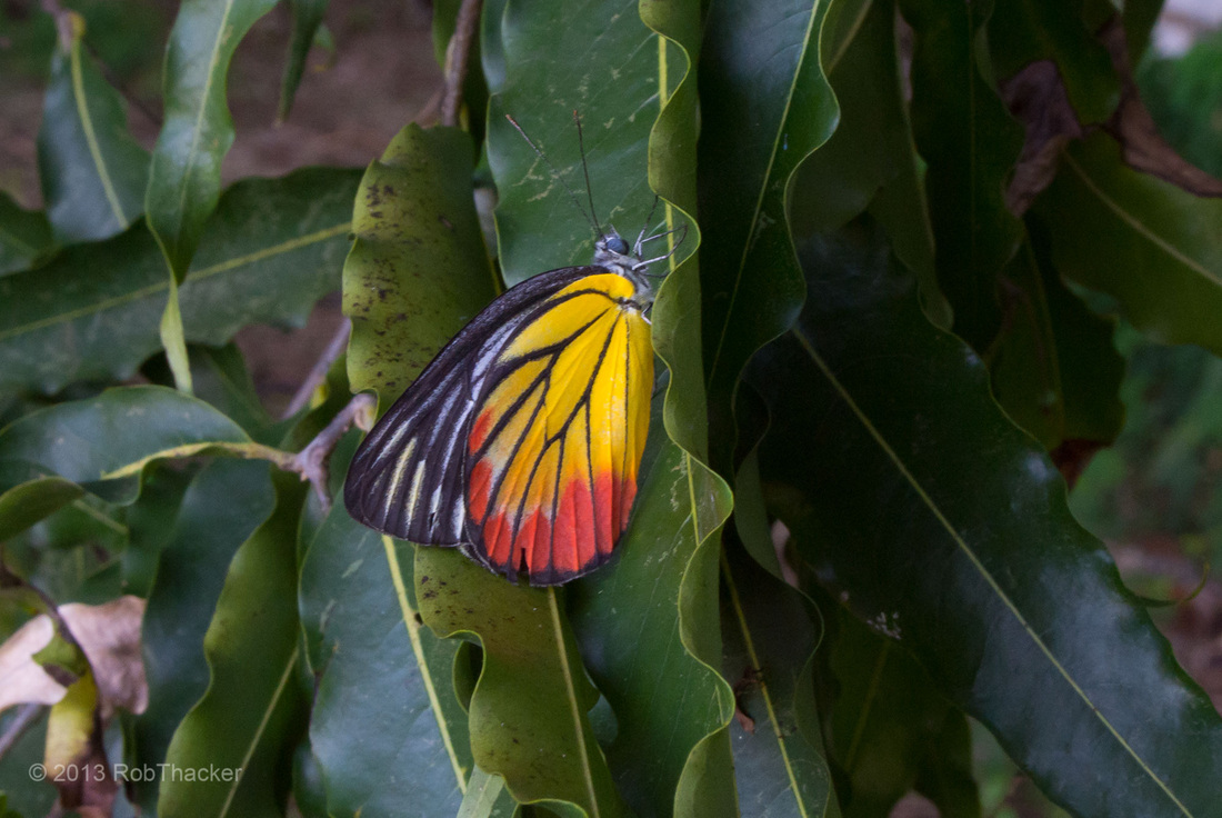 Painted Jezebel butterfly.jpg