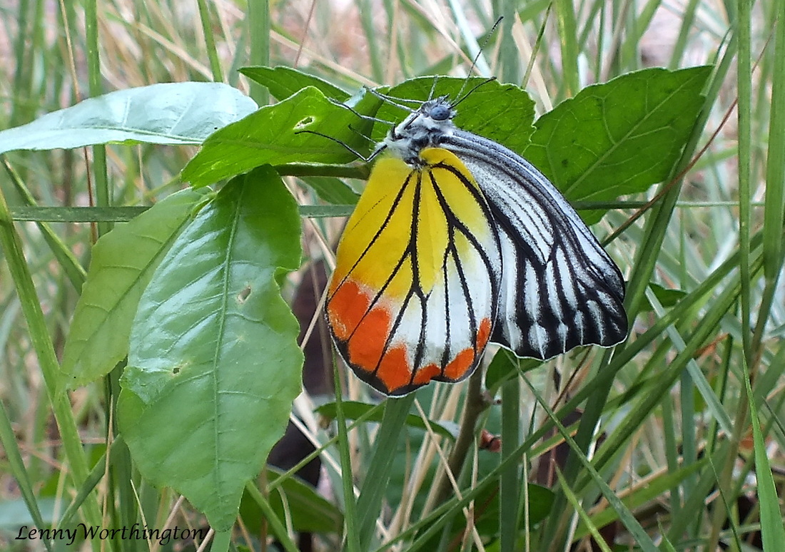 Painted Jezebel butterfly from Thailand.jpg