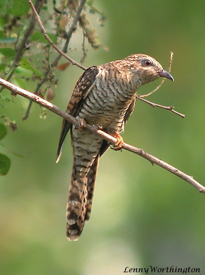 Plaintive cuckoo Cacomantis merulinus female.jpg