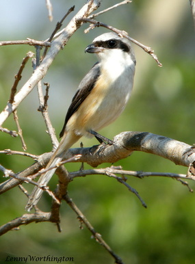 Grey-backed Shrike Lanius tephronotus.jpg