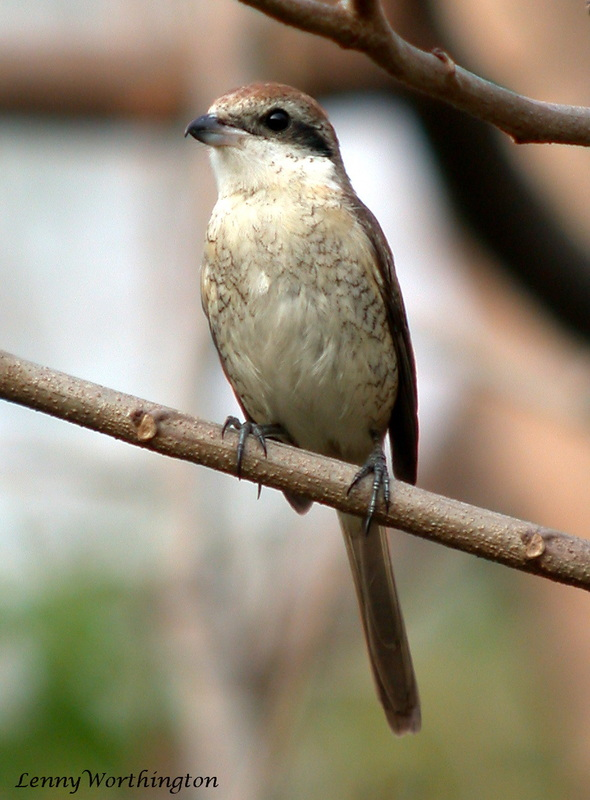 Brown Shrike Lanius cristatus.jpg