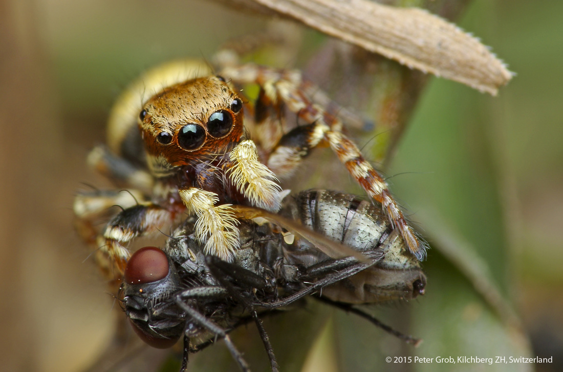 jumping spider eating a fly.jpg