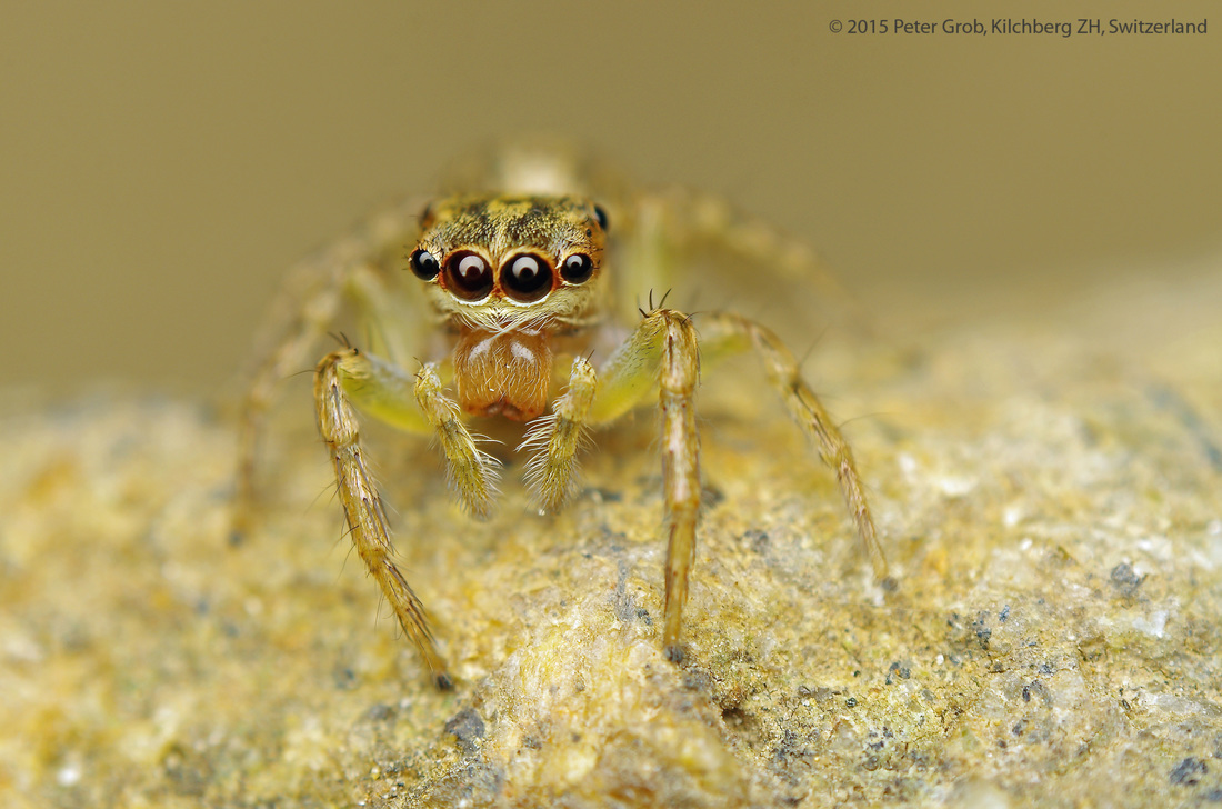 small jumping spider on a rock.jpg